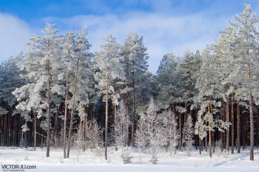 Зимний лес фото