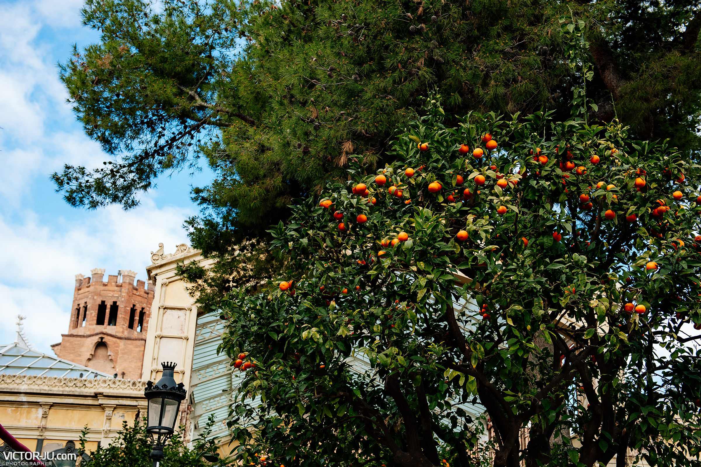 Мандарины в парке Барселоны